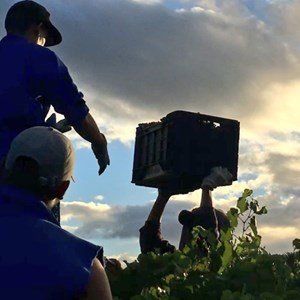 Picking Pinot Noir for bubbly 2017