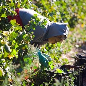 Villiera Harvesting 19