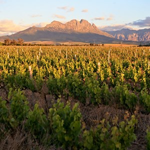 Villiera Vineyards with Simonsberg in background