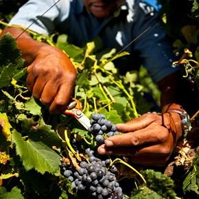 Villiera Harvesting John Williams Vineyard manager