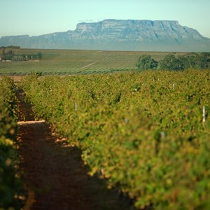 Villiera Vineyards with Table Mountain in the background