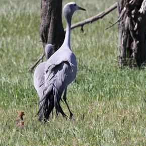 Blue Crane and chicks