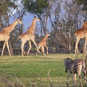 Villiera Wildlife sanctuary - baby Giraffe