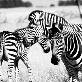 Zebras B&W