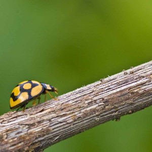 Ladybird Low Res