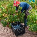 Darling Cellars harvest 2019 in full swing.