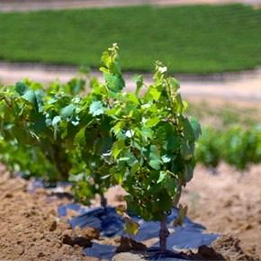 Vineyard Growing