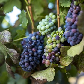A good year for Pinotage despite pandemic disruptions